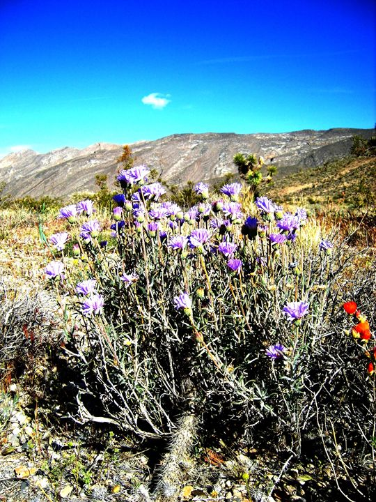 Lavender in the Desert - Markell Smith Gallery
