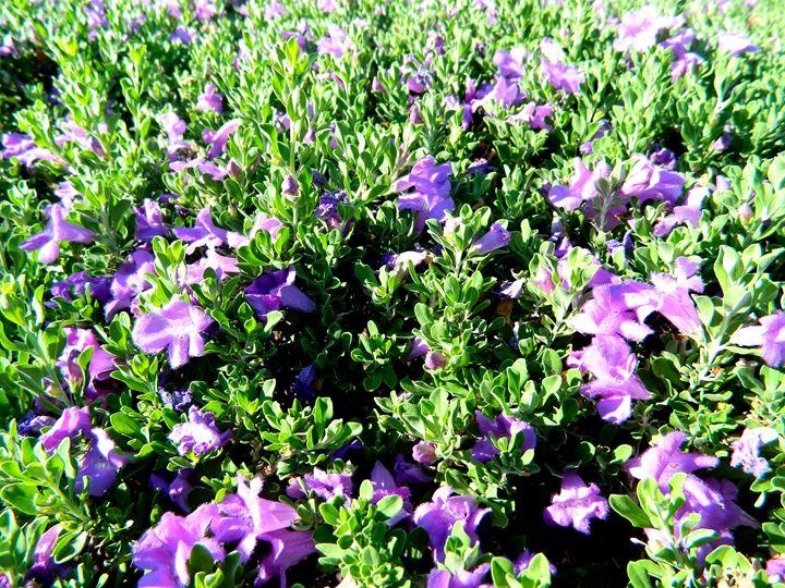 Lavender Garden - Markell Smith Gallery
