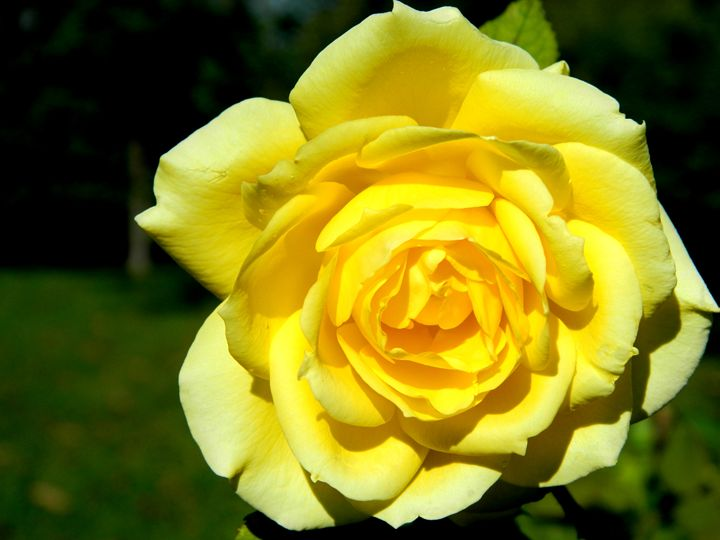 The Yellow Rose - Markell Smith Gallery