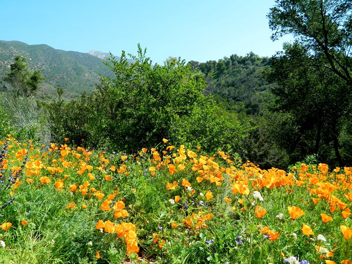 The California Poppy - Markell Smith Gallery