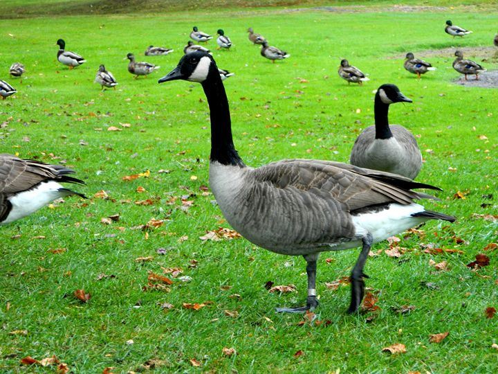Geese in the Park - Markell Smith Gallery