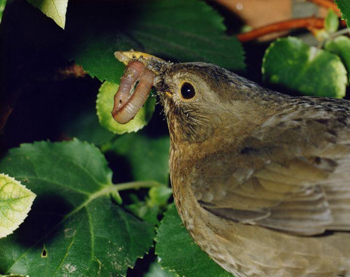 blackbird with worm - eriktanghe