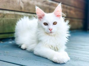 Kimba The White Maine Coon