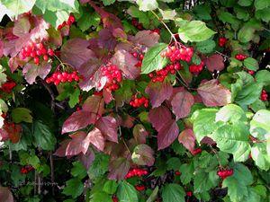 Cranberry 2