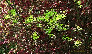 Box Elder Leaves in Spring - D. Raymond-Wryhte