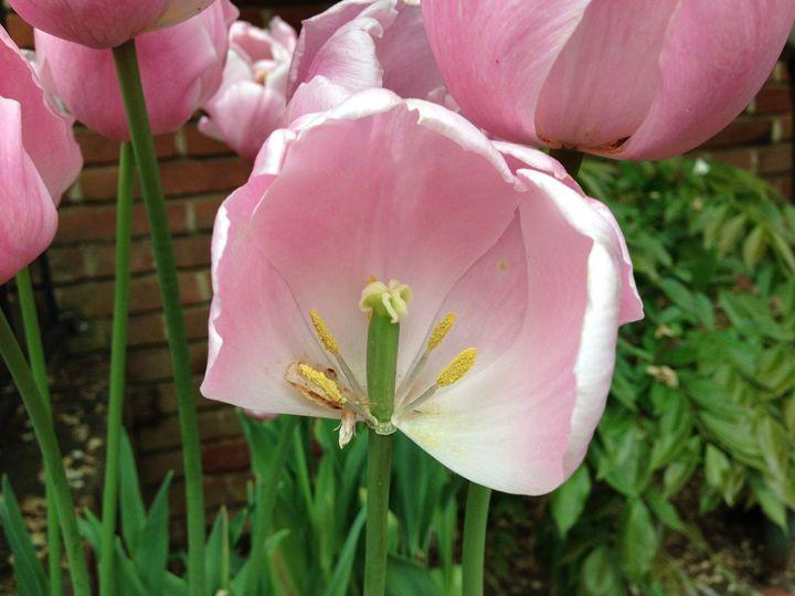Open Tulip - Andrea Rt