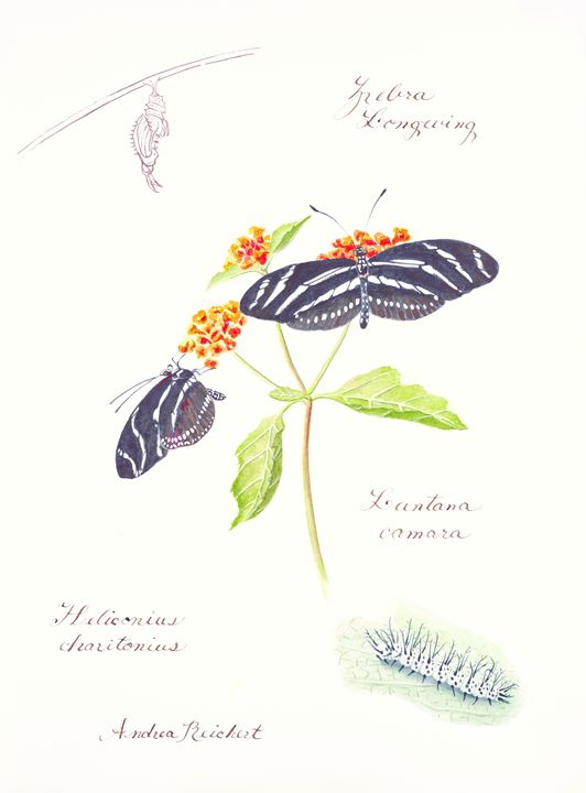 Zebra longwing - Andrea Rt