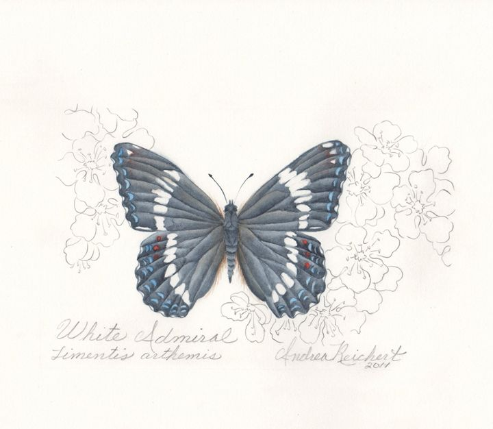 Admiral Butterfly - Andrea Rt