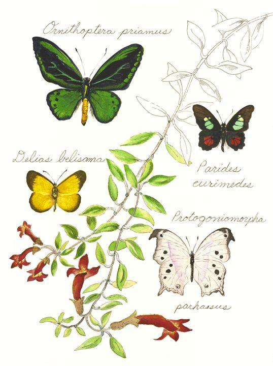 Butterflies Southern Hemisphere - Andrea Rt
