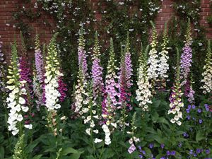 Foxglove Multi-colored