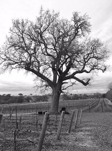 Winter's Vineyard