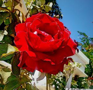 Red rose sunshine
