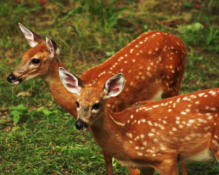 Two Fawns - J. Satterstrom Designs