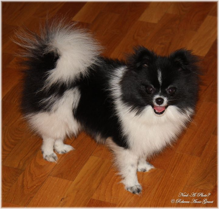 Black And White Parti Pomeranian - Need-A-Photo?