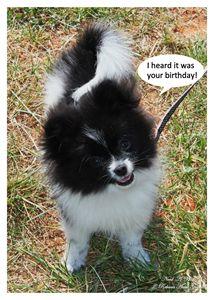 Black Parti Pom Puppy Birthday Card