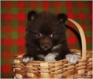 Chocolate And White Pomeranian