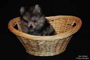 Blue Merle Pomeranian Puppy