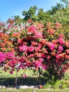 Multicolored clustered bougainvillea