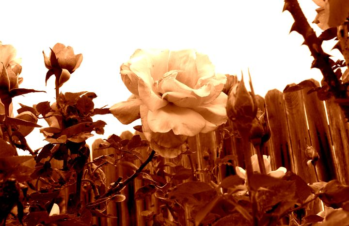 Sepia Rose - Your Heart Services  Dynisha Cole (c) 2014