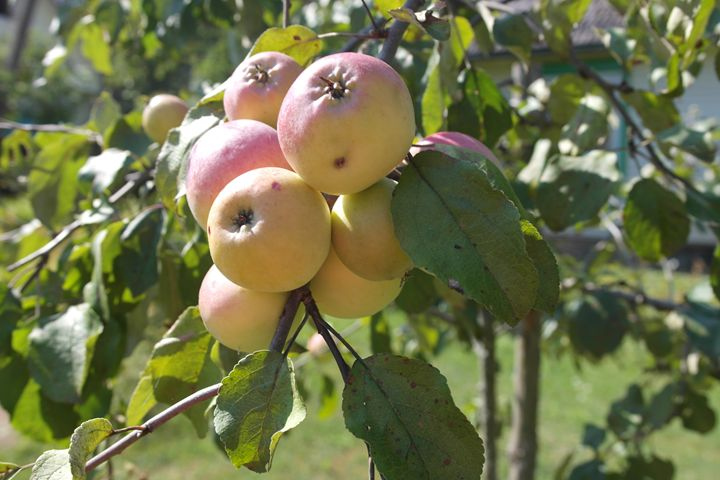 Apples - Vaidoto art