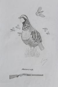 Red Partridge: Alectoris rufa
