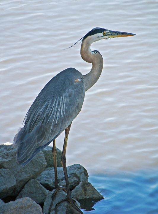 Great Blue Heron Portrait - Images by Suzanne Gaff