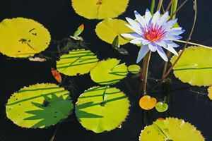 Lazy Afternoon at the Lily Pond