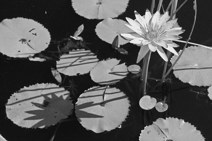 Lazy Afternoon at the Lily Pond II - Images by Suzanne Gaff