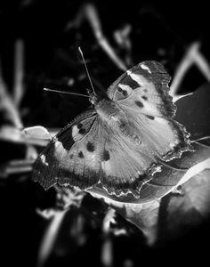 """""""Butterfly Left"""""""