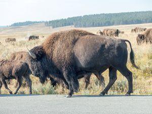 Yellowstone Bison - Rod Jones Photography