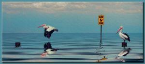 Slow Pelican Xing