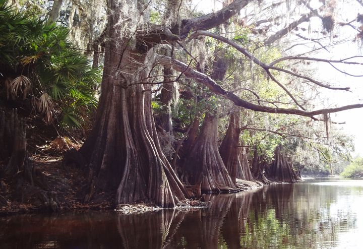 Line of Cypress - From My Kayak