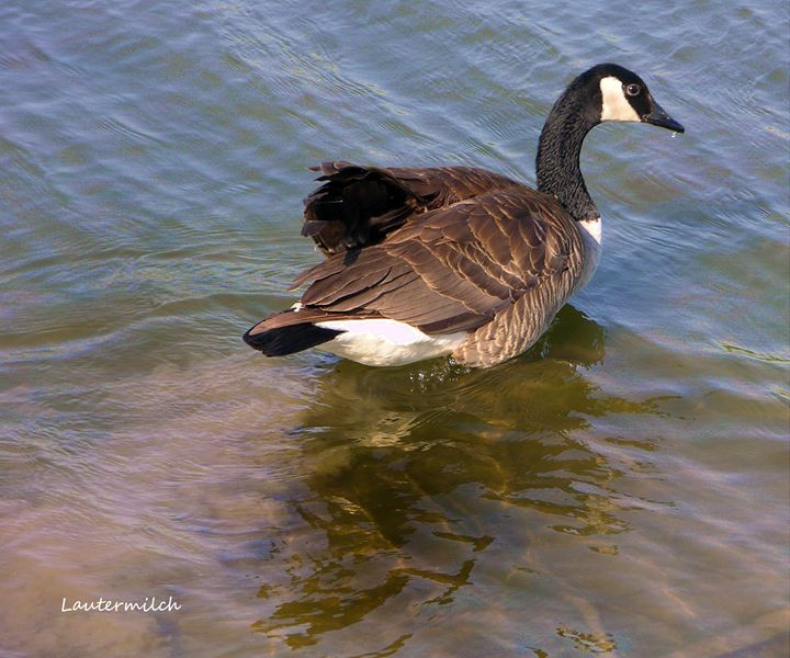 Goose - Paintings by John Lautermilch