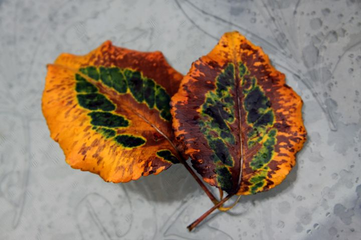 Fall Leaves from Pear Tree - Paintings by John Lautermilch
