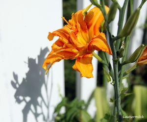 Day Lily in Backyard - Paintings by John Lautermilch