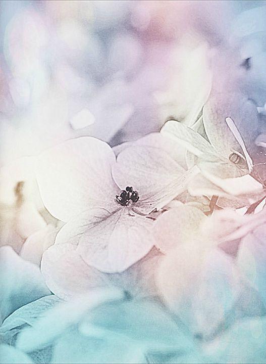 hydrangea possibilities - Rmzphotography
