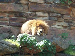 The Peaceful Lion