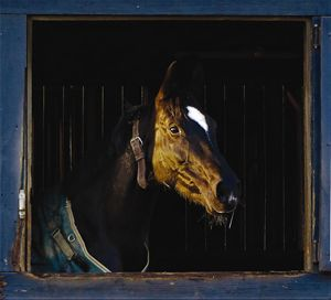 Horse Looking out Barn Window