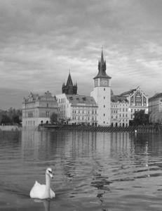 Swan on the Vltava II