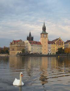 Swan on the Vltava