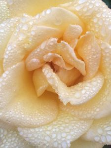 Yellow rose in the morning dew