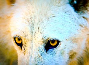 Wolf Eyes - A & B Martin Photography