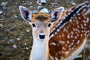 Young, docile deer - A & B Martin Photography