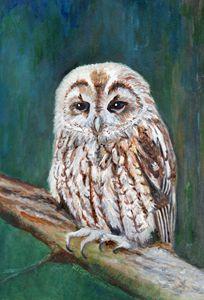 Tawny Owl