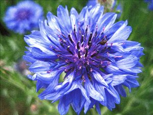 Bachelors button Basket flower Bouto - Reel Life Art