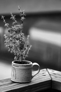 Morning cup of Oregano