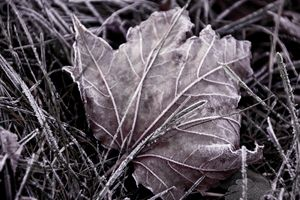 Frosty Maple Leaf