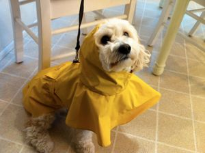 Charlie waiting for the rain