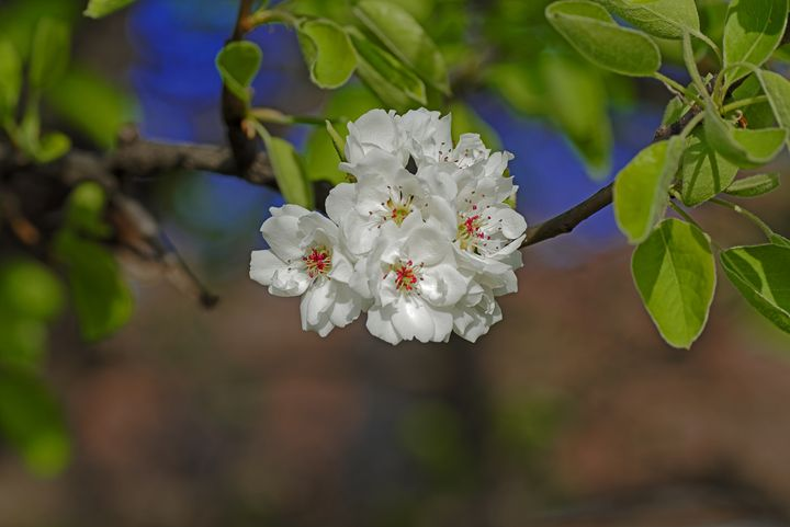 Blossom cherry in its own shadow - Adrian Bud