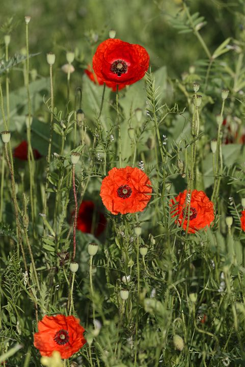 Group of poppies - Adrian Bud